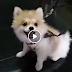 ขายลูกสุนัข ปอมผสมปอมสปิตซ์ (ปิดการขายแล้ว)