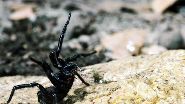 Laba-laba Mematikan Australia Efektif Bunuh Sel Kanker