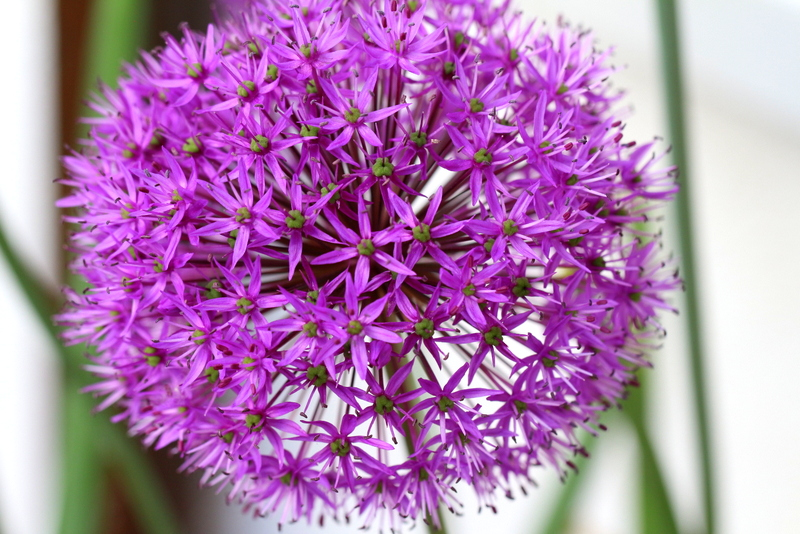 Allium | Arthurs Tochter Kocht by Astrid Paul
