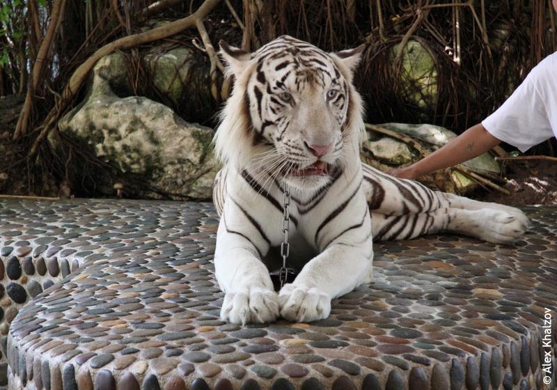Белый тигр на ферме
