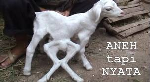 binatang aneh kambing kaki tujuh