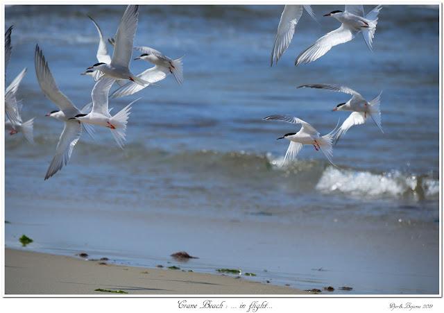Crane Beach: ... in flight...