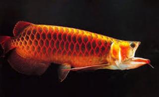 Mogok Makan Pada Ikan Arwana