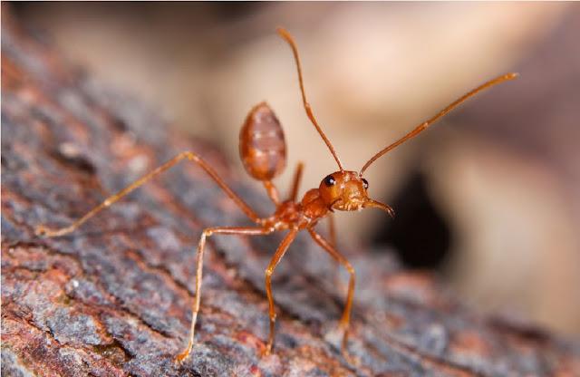 http://www.katasaya.net/2016/08/semut-paling-berbahaya-di-dunia.html
