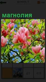 В весенне время распустилась красивыми розовыми цветками магнолия