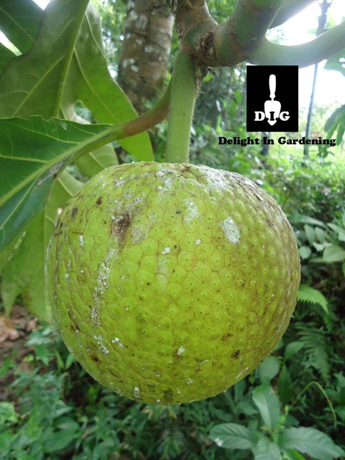 D I G This Love Of Breadfruit