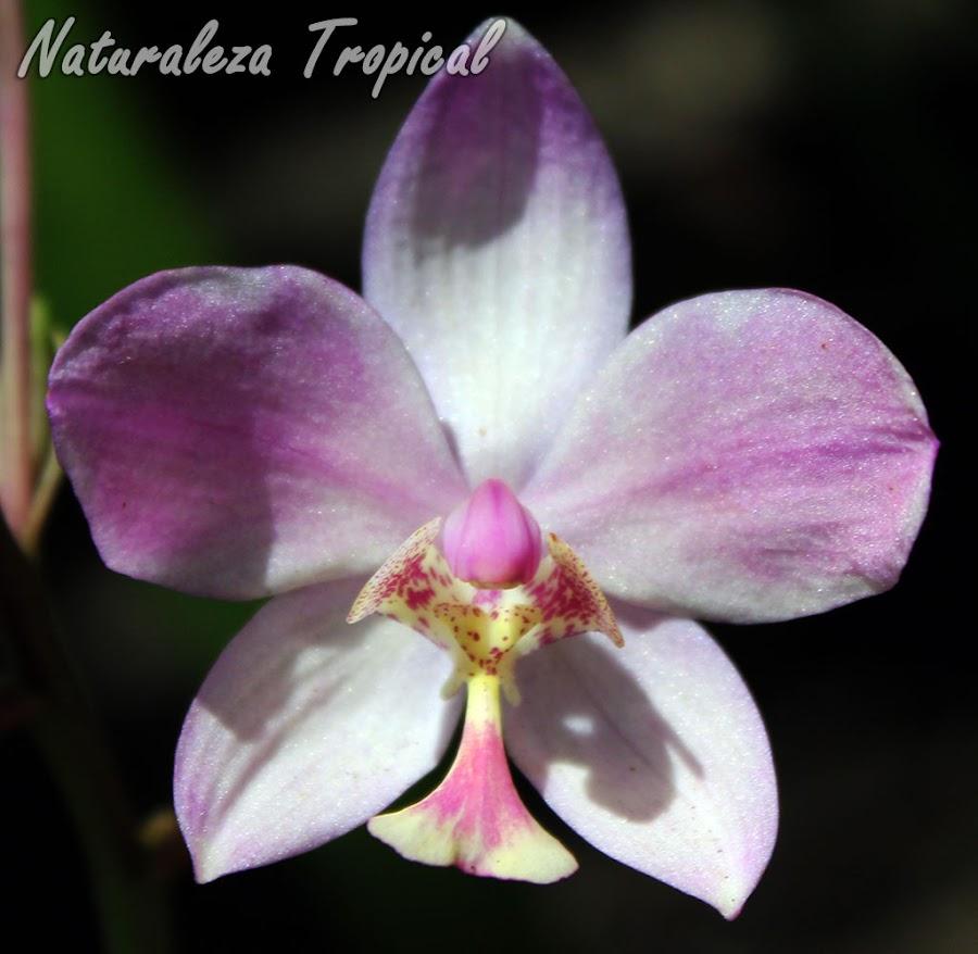 Flor de una especie del género Spathoglottis