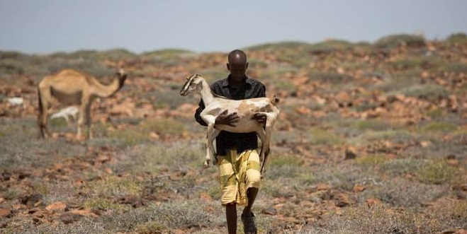 Camels, goats, sheeps livestock are the backbone of the Somali economy