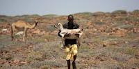 Camels, goats, sheeps livestock are the backbone of the Somali economy