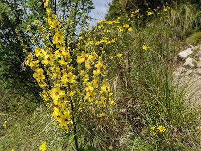 [Scrophulariaceae] Verbascum nigrum – Dark Mullein (Verbasco nero)