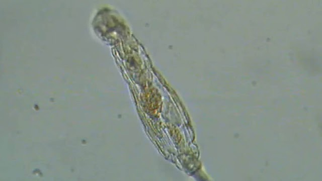 Reviving 24,000-year-old Microscopic Animal from Arctic Permafrost