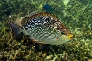 Siganus javus - Jenis Jenis Ikan Baronang