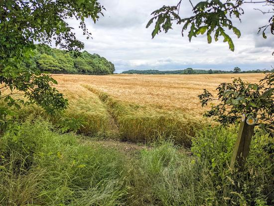 Kings Walden footpath 38 heading through the crop