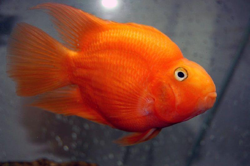 Gambar Ikan Louhan Bonsai, Bentuknya Mirip Ikan Parrot