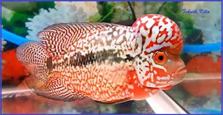 ikan louhan kamfa f3 f2 ori
