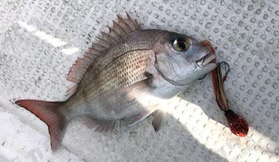 スーパーリアルタイラバ POLPO(ポルポー)釣果