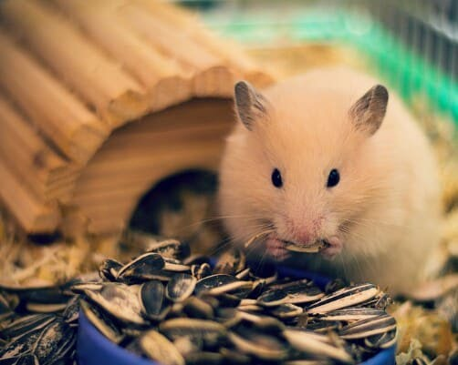 7+ Cara Merawat Hamster Agar Tidak Bau (Mudah dan Terbukti)