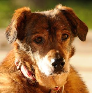 displasia em cães idosos