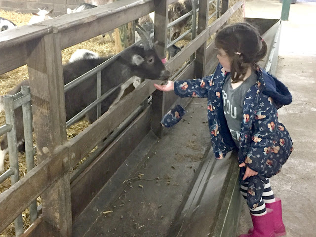 Feeding a goat at Whitehouse Farm