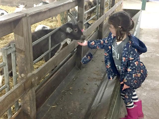 Feeding a goat at Whitehouse Farm