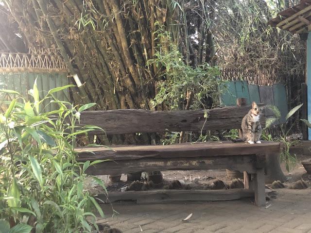 kucing bantul