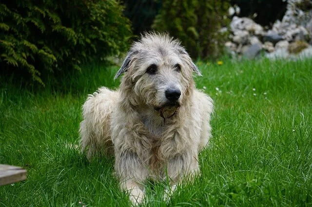 Breed, height, weight, color, date, and description Irish Wolfhound Dog