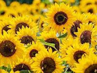 Panduan Lengkap Cara Menanam Bunga Matahari Yang Baik Supaya Cepat Berbunga