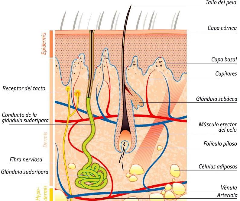 El cuerpo humano: La piel