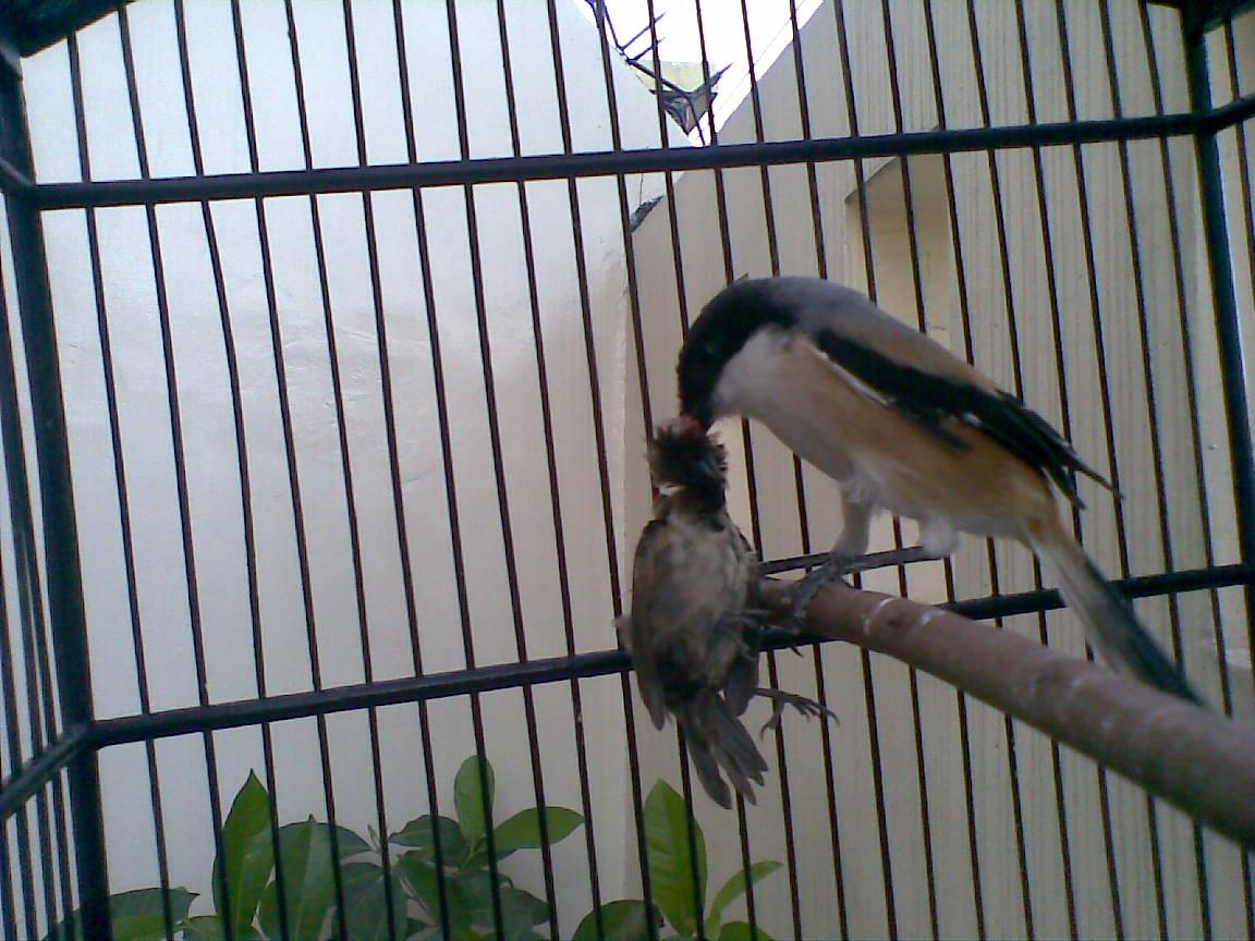 Cara Mengatasi Burung Cendet Galak