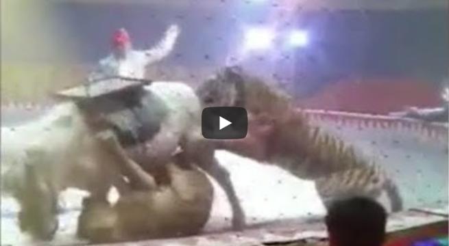 http://obutecodanet.ig.com.br/index.php/2018/09/26/leoes-atacam-cavalo-durante-apresentacao-em-circo/