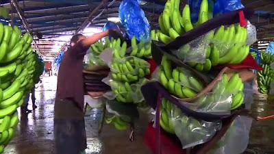 contoh perusahaan pisang