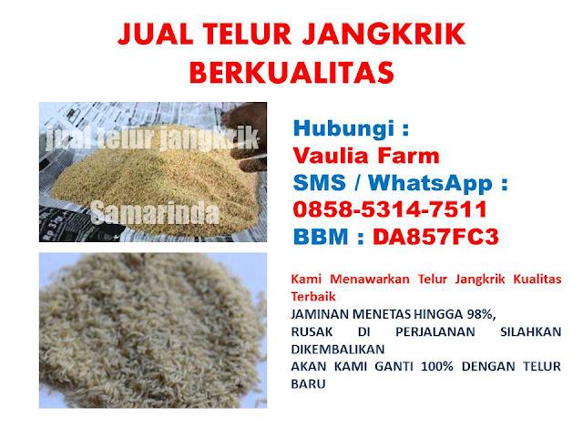 Usaha ternak jangkrik merupakan salah satu dari sekian banyak usaha peternakan yang menjan Order WA 085853147511 Keuntungan Ternak Jangkrik Dari 1 Kg Telur.