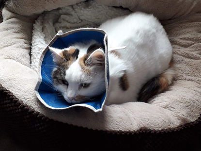 tabby-and-white cat in cat bed wearing cone collar