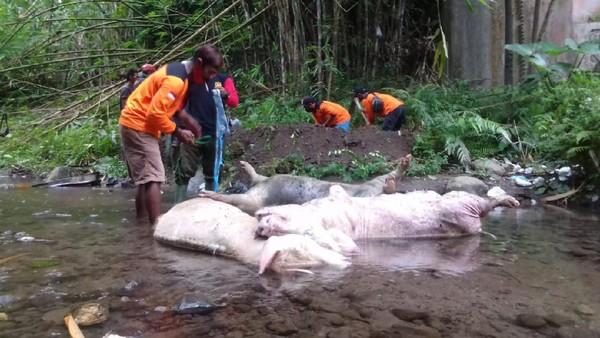 Teka-teki Pembuang 3 Bangkai Babi Jumbo di Sungai Lereng Merapi Klaten
