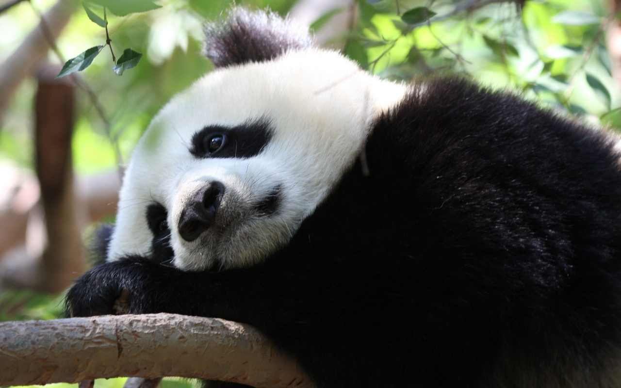 wine and the city pandas threatened by chinese vineyard expansion. Black Bedroom Furniture Sets. Home Design Ideas