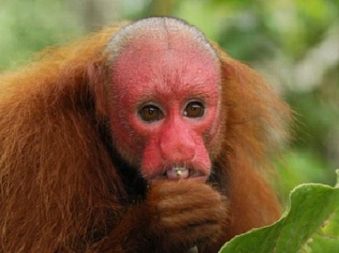 É um macaco do Novo Mundo do género Cacajao, e família Pitheciidae encontrado originariamente na Amazônia brasileira.
