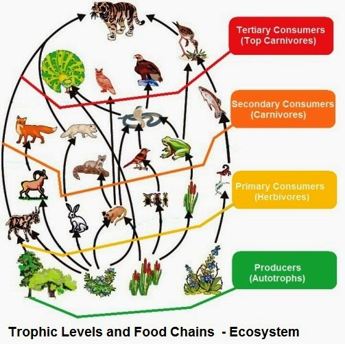 The length and complexity of food chains vary greatly. Each organism at some irophic iLevel, is generally eaten by two or more other kinds of organisms of other tropic level. Which in turn are eaten by several other organisms. So instead of a straight line food chain, the relationship can be shown as a series of branching lines called a food web