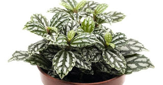 Plant with green leaves and bright silver markings.ALUMINUM PLANT (Pilea cadierei)