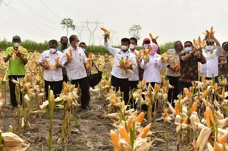 Menteri Pertanian Bersama 4 Gubernur dan 26 Bupati Gelar Panen Jagung Secara Nasional