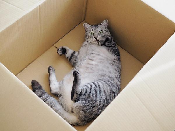 丸々としたサバトラ猫が転がっている