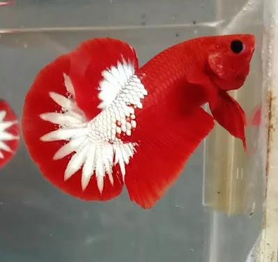 Asal Usul Ikan Cupang Dan Fakta Menarik Lainnya
