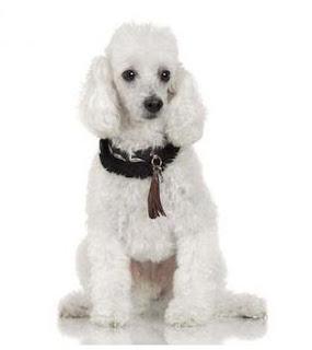 razas de perros pequeños poodle