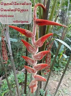 Heliconia vellerigera tree