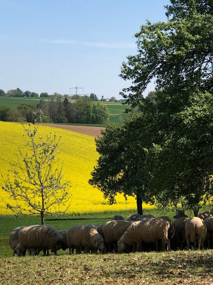 Schafe weiden vor einem gelben Rapsfeld im Kraichgau