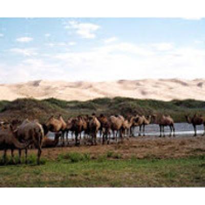 Chamelles, la voie du désert. Gobi