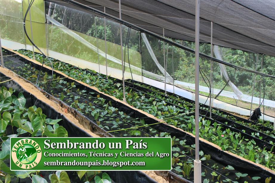 casa de cultivo con anthurium