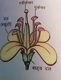 सरसों का फूल