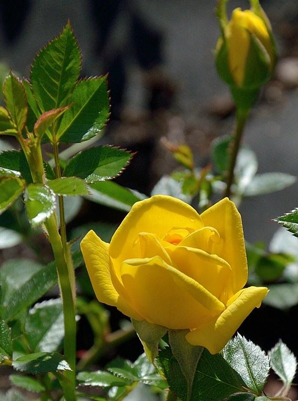 Goldjuwell сорт розы фото