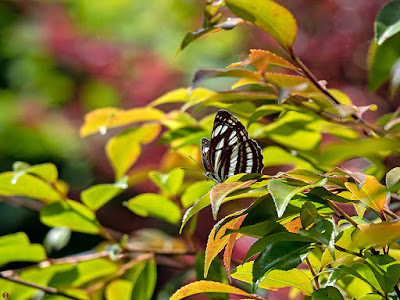 Komisuji (Neptis sappho) butterfly: Engakuji
