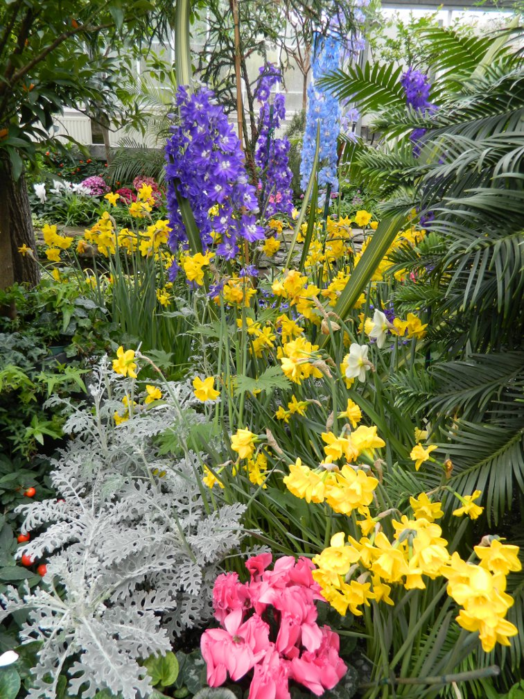 Allan Gardens Conservatory Easter Flower Show 2013 blue white delphiniums dusty miller yellow daffodils by garden muses: Toronto gardening blog